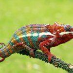 Chameleons Care Guide